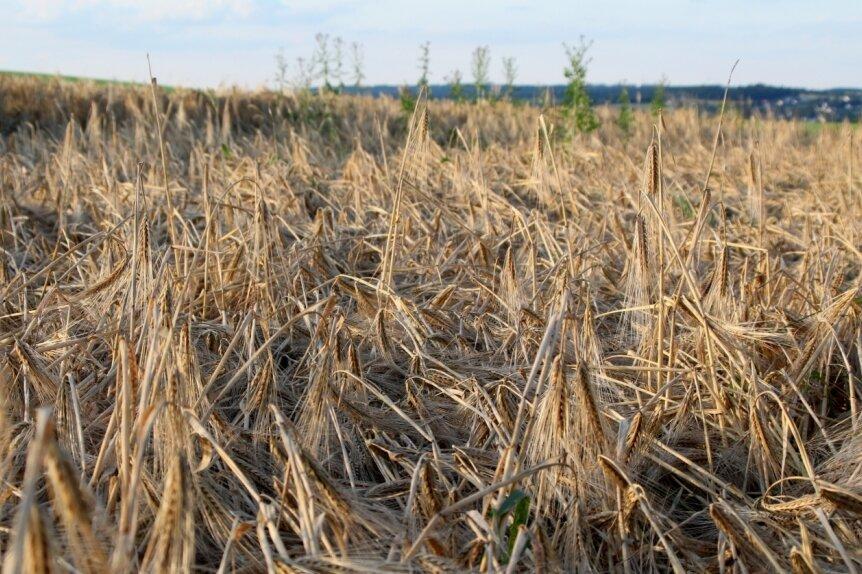So sieht es aus, wenn heftiger Regen und Wind über die reifen Felder toben: Das Getreide, hier ein Gerstenfeld in der Nähe von Theuma, liegt am Boden. Ernteverluste sind vorprogrammiert.