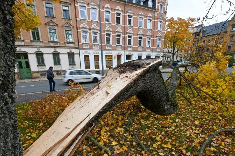 Ein durch den Sturm in der vergangenen Woche vom Stamm abgelöster Teil eines Ahornbaums an der Augustusburger Straße in Gablenz. Bilder wie dieses bieten sich derzeit im gesamten Stadtgebiet. Mehrere trockene Jahre in Folge haben vielen Bäumen zugesetzt; eine Reihe von Fällungen steht an.