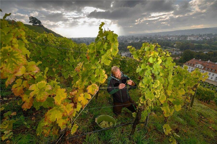 Weinlese bei Schloss Wackerbarth in Radebeul. Weinbauleiter Till Neumeister erntet in der Steillage Rieslingtrauben.