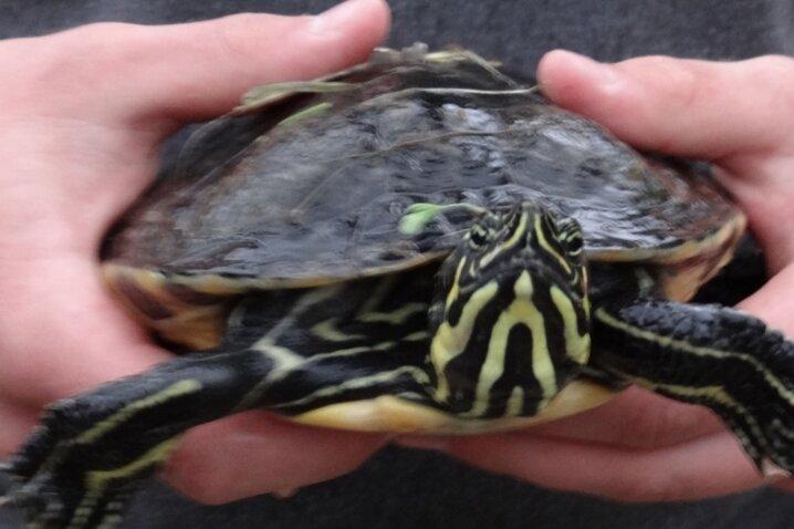 Schildkröten wie diese wurden bereits an Gewässern im Vogtland gefunden.