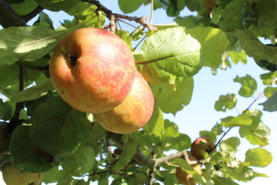 Seltener Apfel kommt nach Sachsen zurück