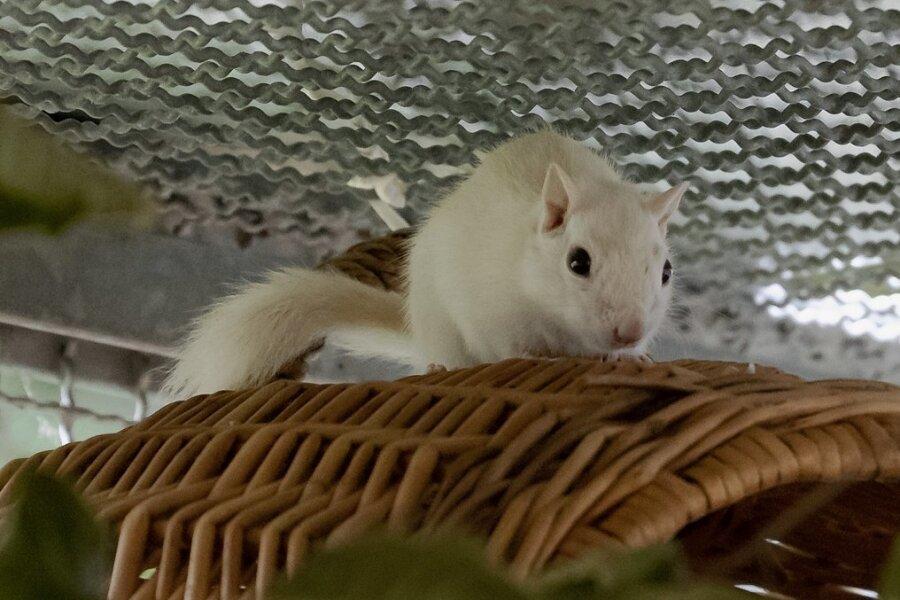"""Vor einigen Wochen wurde Streifenhörnchen Speedy nahe der Riesenburg in Annaberg-Buchholz gefunden. Bisher hat sich kein Besitzer im Tierheim """"Neu-Amerika"""" gemeldet. Daher wird für den kleinen Nager ein neues Zuhause gesucht."""