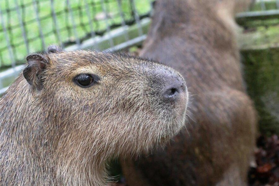 Aus dem Limbach-Oberfrohnaer Tierpark ist ein Wasserschwein entlaufen.