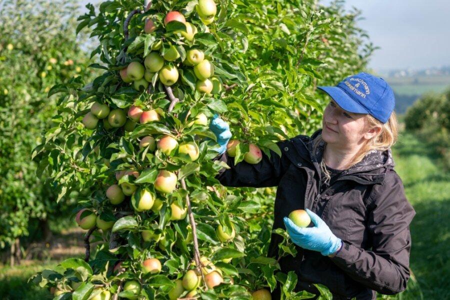 Erntehelfer und Mitarbeiter pflücken die Äpfel am Obstgut Seelitz von den Bäumen. In der Spitze sind über 20 Kräfte aus Polen im Einsatz.