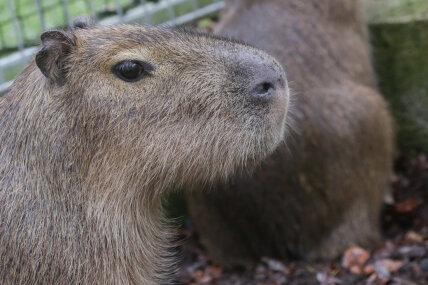 Ein Wasserschwein ist am Donnerstag aus seinem Gehege im Limbach-Oberfrohnaer Tierpark entlaufen.