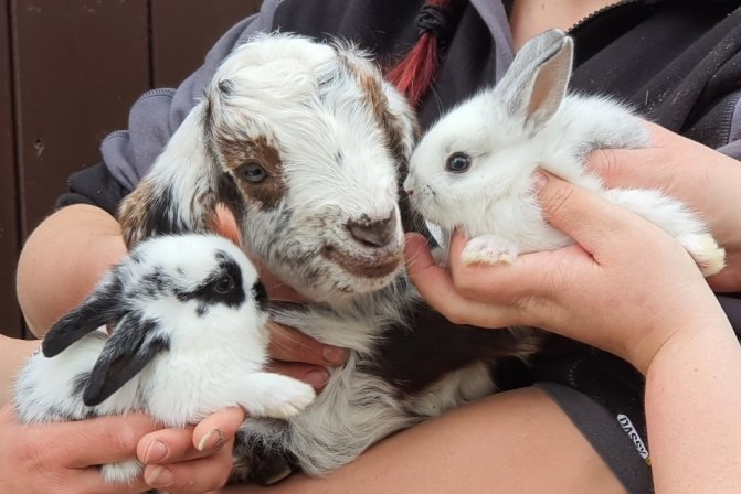 Im Limbach-Oberfrohnaer Tierpark ist eine kleine Damaraziege auf die Welt gekommen. Doch es gibt noch mehr Jungtiere, darunter kleine Kaninchen.