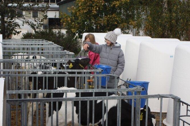 Die jungen Kälber reagieren neugierig auf den Besuch verschiedener Gäste, die an ihren Boxen vorbeispazieren.