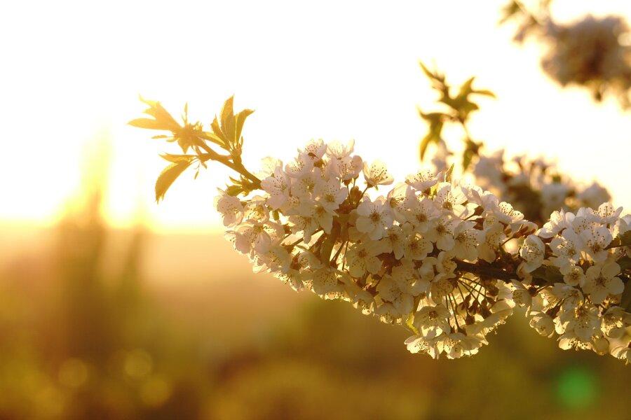 Die Abendsonne scheint in die Kirschblüten. Ende April